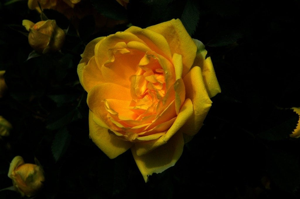 Yellow Rose by Eric Mayr